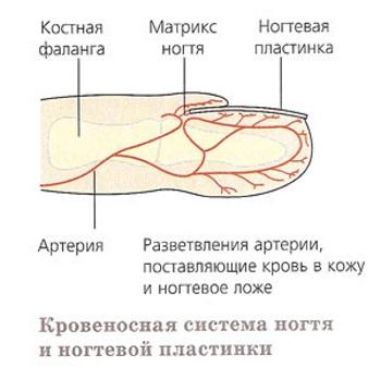 Кровеносная система ногтя
